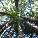 coastredwoods