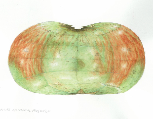 Fuji Apple – alternate projection