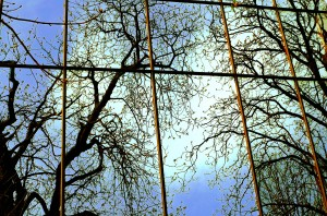 Reflection of branching trees with newly budding leaves against a glass skyscraper wall.