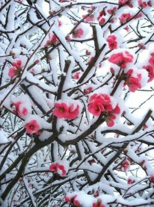 Tree with snow on branches and pink blossoms