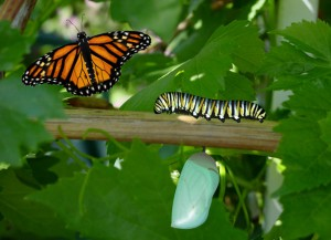 Butterfly Life Cycle, photo by Laurie Williams. http://www.publicdomainpictures.net/view-image.php?image=3549