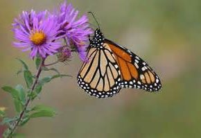 Monarch butterfly on milkweed flower (public-domain-images.com)