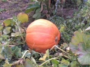 Large pumpkin growing in a patch