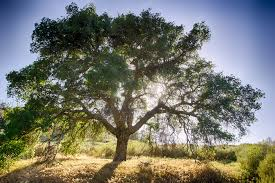Large oak tree, trunk and several main branches extending all the way out to smaller branches and leaves. Sun's behind it on a sunny day with a blue sky and no clouds, it's shining through the branches. Tree leaves some shadows on the grassy field below, some green bushes nearby.
