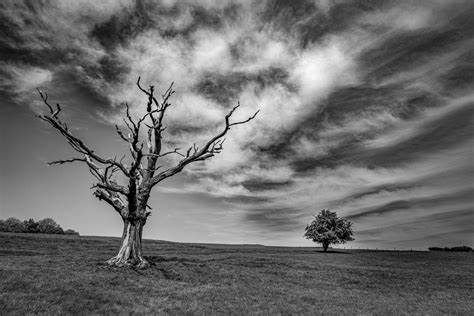 Black and white photo of two trees in a field. The one in the foreground is dead with twisted empty branches and the one to the right in the background is full of leaves.