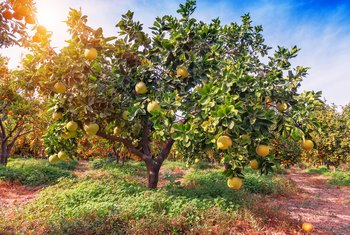 Large fruiting lemon tree planted in red-brown soil near some grass and other lemon trees.