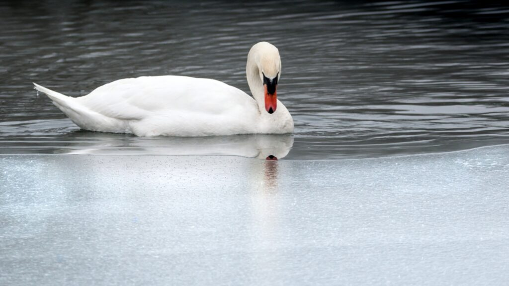 White swan on a pond, sitting on clear water and staring at ice.